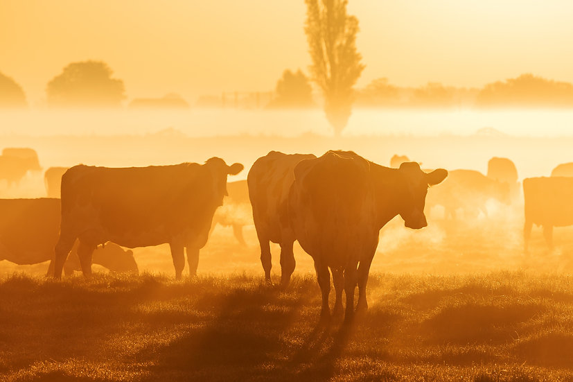 Golden Cows in the Morning mist 2, The Netherlands