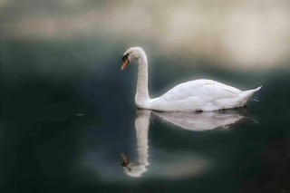 Beautiful Swan Again