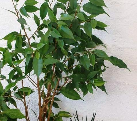 Figueira-Benjamim (Ficus benjamina)