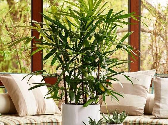 Palmeira-dama (Rhapis excelsa)