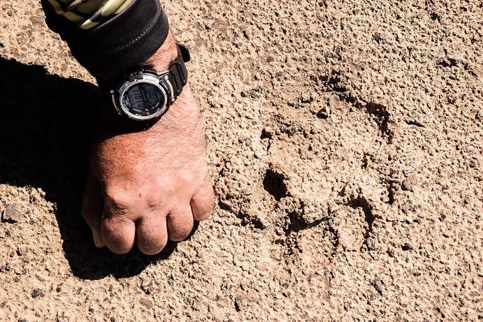 Rastro de onça; pata é do tamanho de uma mão fechada de homem