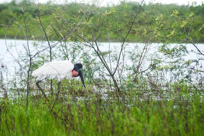 Tuiuiú, a ave símbolo do Pantanal