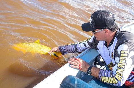Dourado solto na pesca esportiva