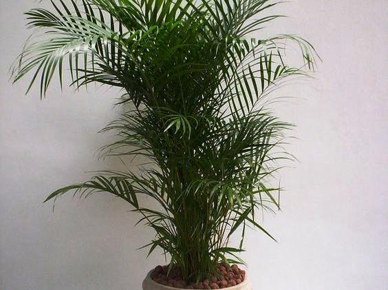 Palmeira de Jardim (Dypsis lutescens)