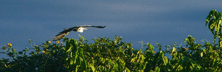 Ave voando no Pantanal