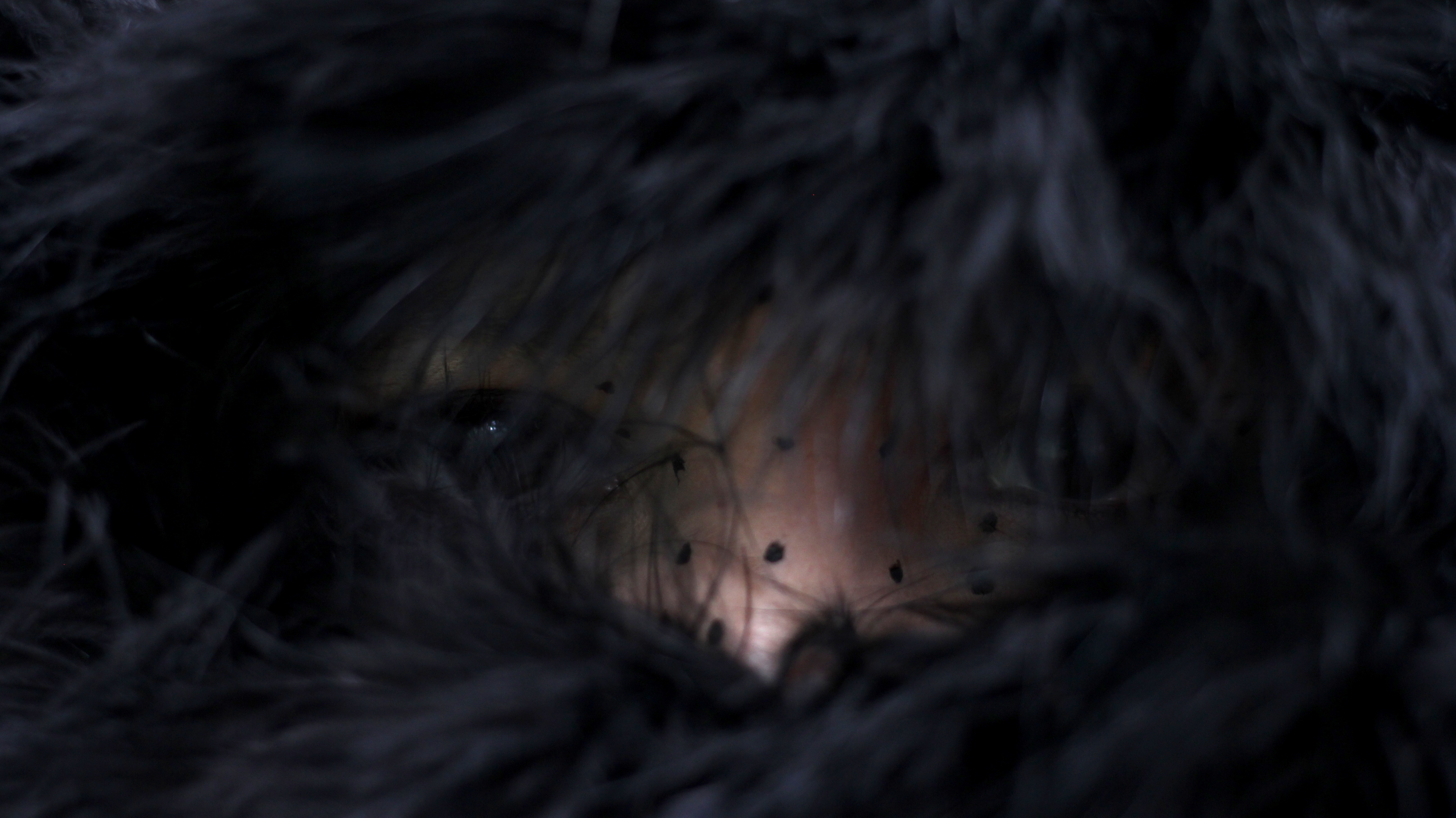 Estado: Lobo