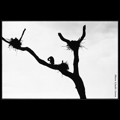 Cormorants - Cormorans