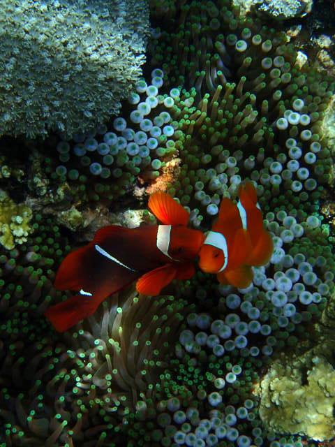 Anemone fish 5.jpg