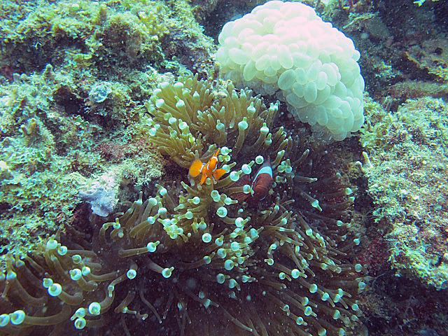 Oange+anenomefish+and+Tomato+clownfish+and+bubble+coral.jpg