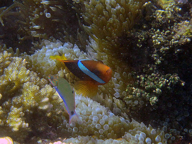 Black+anenomefish.jpg
