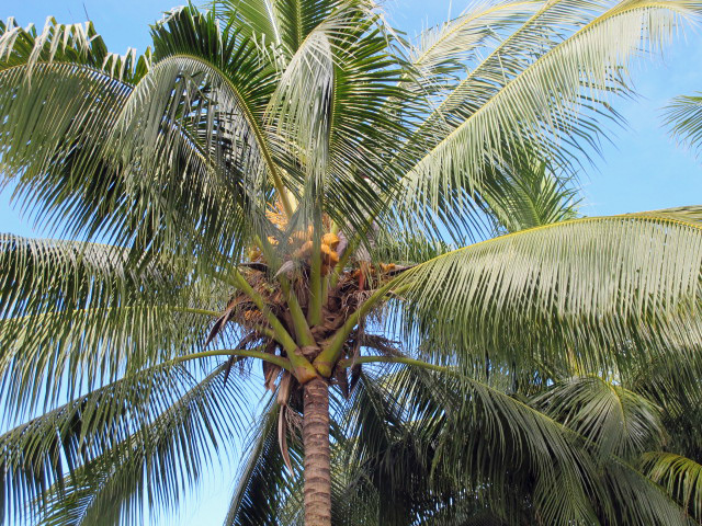 BH+coconut+trees.jpg