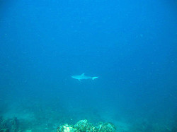 White+tip+reef+shark.jpg