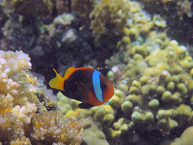 Black+anenomefish+4.jpg