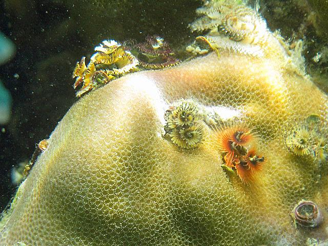 More+stone+flower+corals.jpg