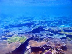 Hard+corals+-+beautiful+blues.jpg