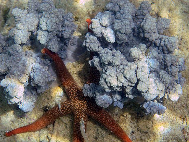 Orange+star+fish+amongst+the+cauliflower.jpg