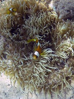 Orange+anenomefish+2.jpg