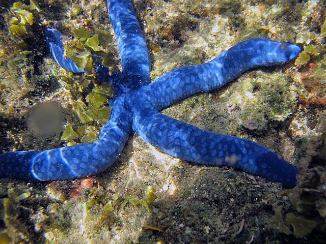 Blue+Starfish.jpg