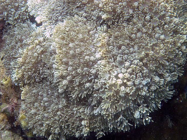 White+flower+coral.jpg