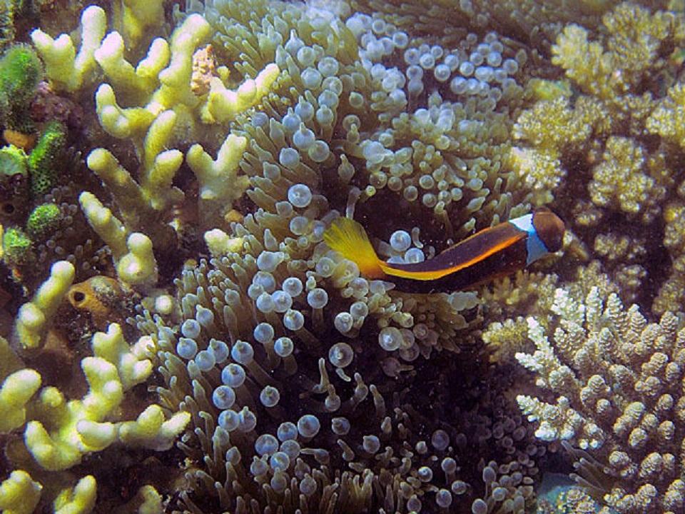 Black+anenomefish+and+bubble+coral.jpg