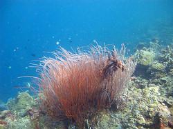 Gorgeous+whip+coral+2.jpg