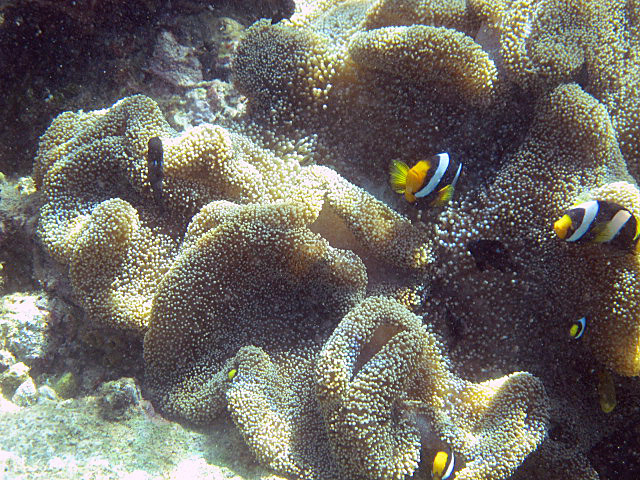 Wide+banded+anenomefish+2.jpg