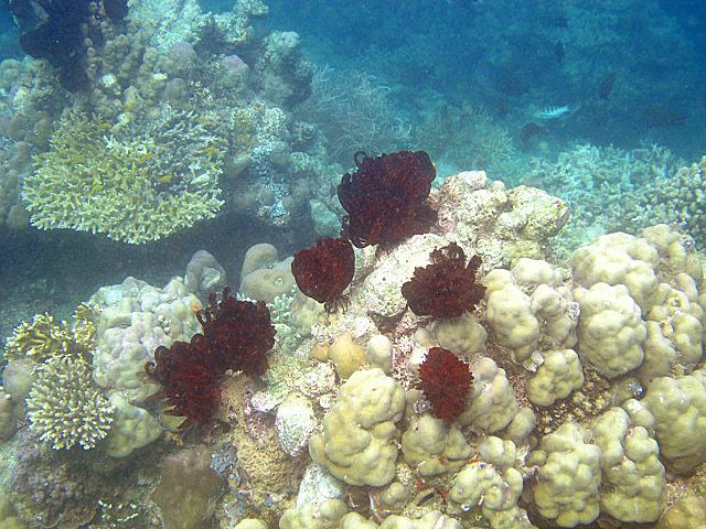 Loads+of+featherstar+coral.jpg