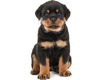 Rottweiler-puppy-6-weeks-old-sitting-on-