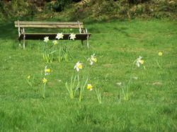 Meadow Daffodils