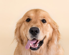 golden retriever studio