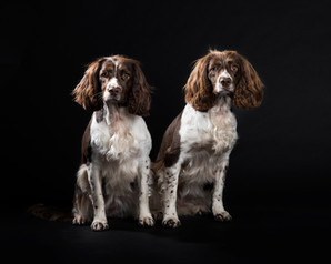 springer spaniels professional photography