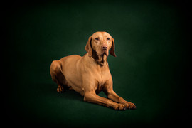 hungarian vizsla studio photography