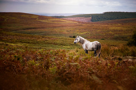 welsh pony shropshire