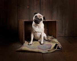 pug studio photograph