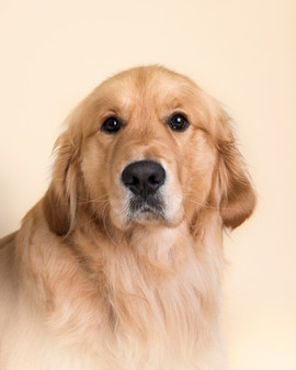 golden retriever photograph