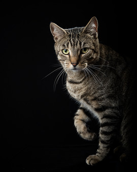 tabby cat studio photography