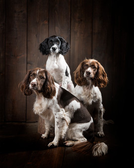 springer spaniels photography