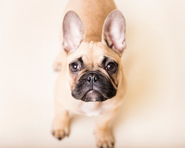 french bulldog studio photography
