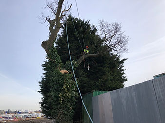 oak tree on sitebeing removed