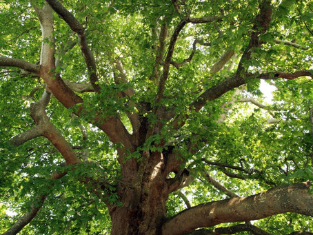 What is a Tree preservation order (TPO)