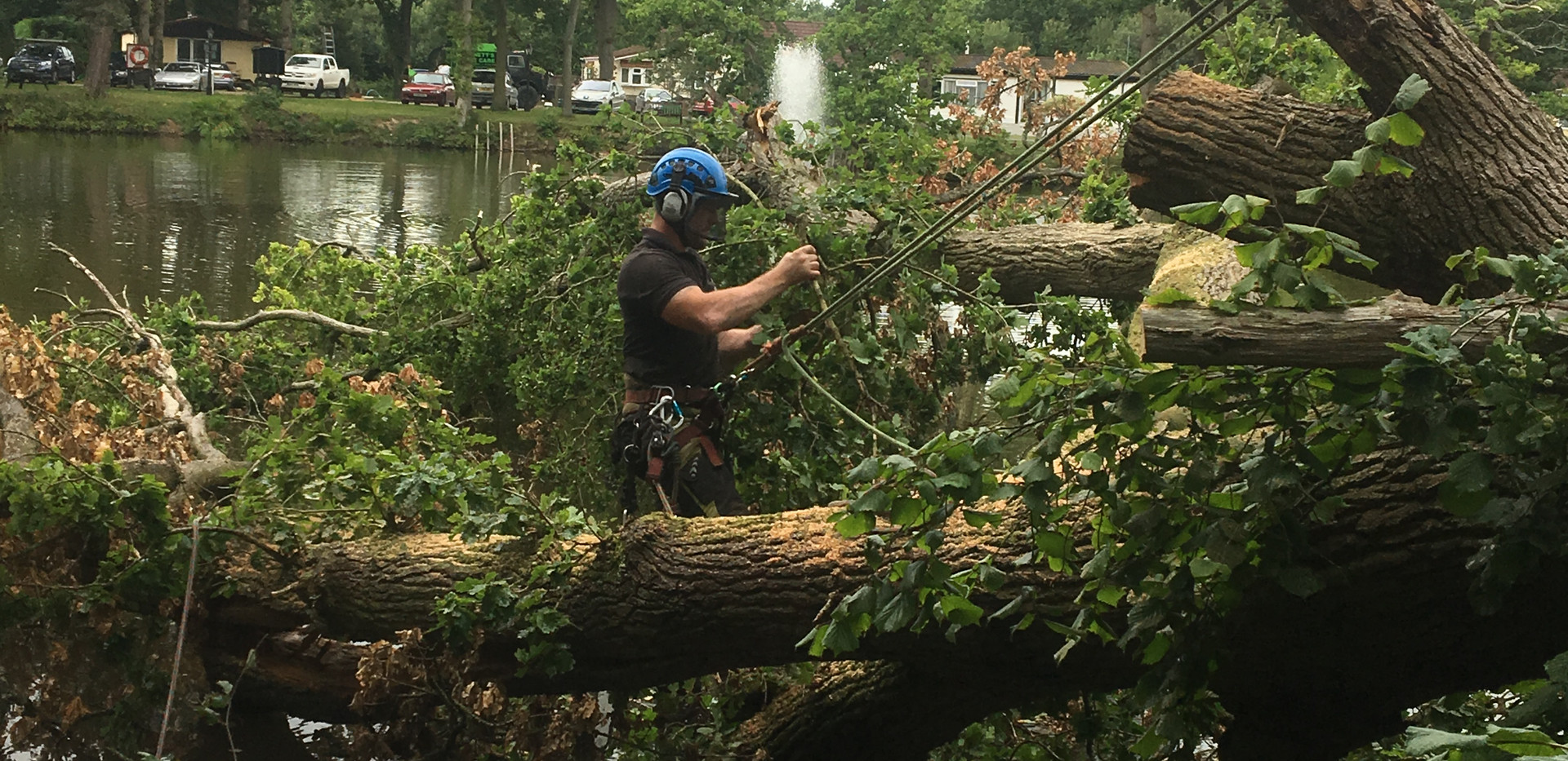 oak tree falledn in lake being removed
