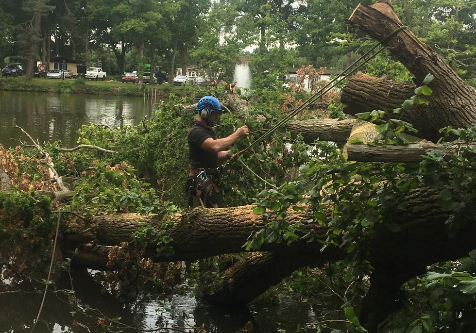 oak tree falledn in lake being removed