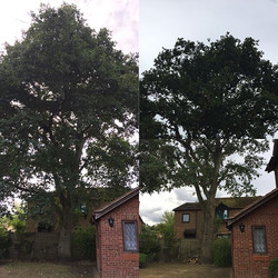 Protected Oak tree permission for a redu