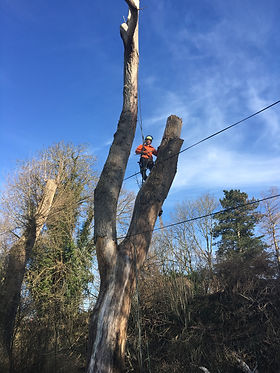 popular tree being climbed and removed