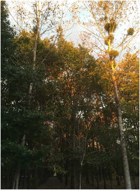 Au vent ce balancent les arbres