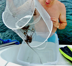 Spiny Lobster in a Laundry Net