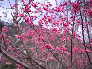 一陣春風起,櫻花如雨紛飛