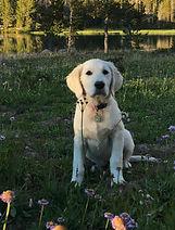 our english cream golden retriever puppy in Spokane