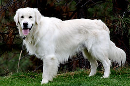 This is Scout, one of the fantastic males for Sweet Cream Goldens