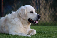 Meet Jack, one of or incredible studs for our english cream golden retriever puppies!